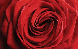 New_Red_Rose Rafael Rafael_4 Фотообои Германия